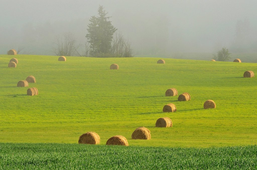Round bales of hay waiting to be picked up in a farm field on a foggy morning in the Bulkley Valley near Smithers British Columbia, Canada : Stock Photo