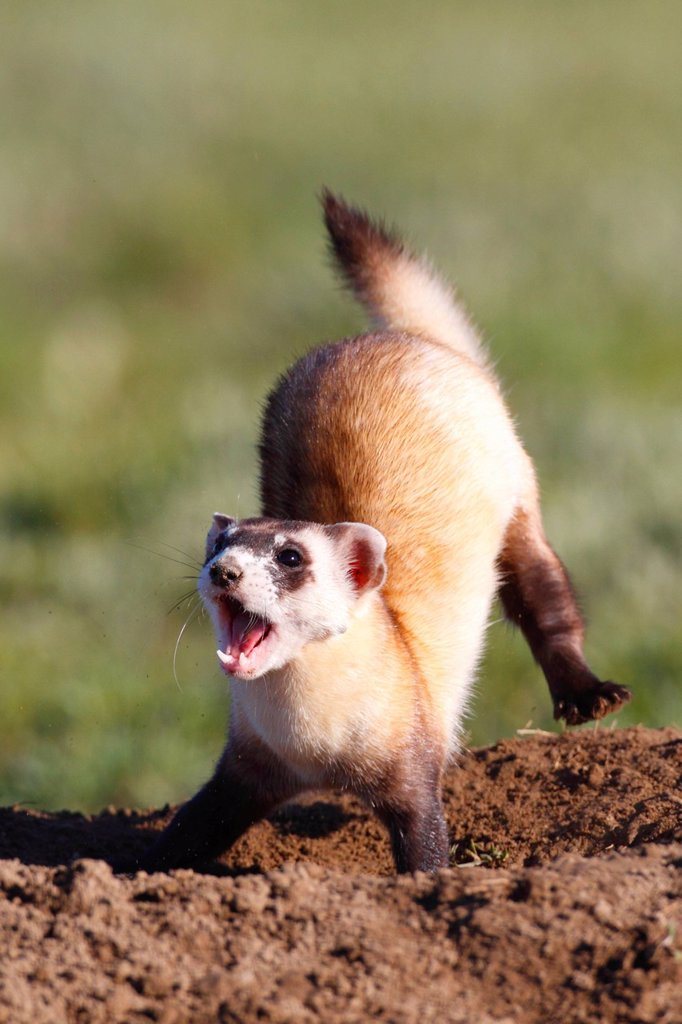 Stock Photo: 1990-61093 Wild Black_footed Ferret Mustela nigripes, also known as the American polecat or Prairie Dog Hunter, Grasslands National Park, Saskatchewan, Canada, one of 35 reintroduced back into Canada in 2009.