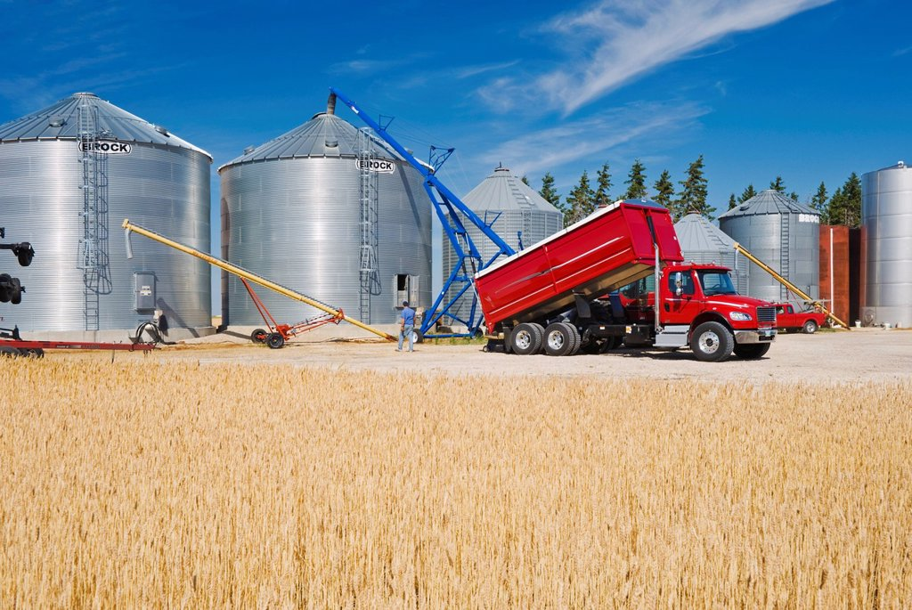 Stock Photo: 1990-61164 harvested barley is augered into a grain bin for on farm storage, near Dugald, Manitoba, Canada