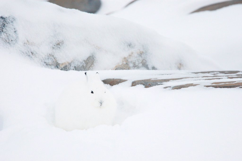 Stock Photo: 1990-61175 Arctic hare Lepus arcticus, or polar rabbit in a winter blizzard in the Canadian arctic