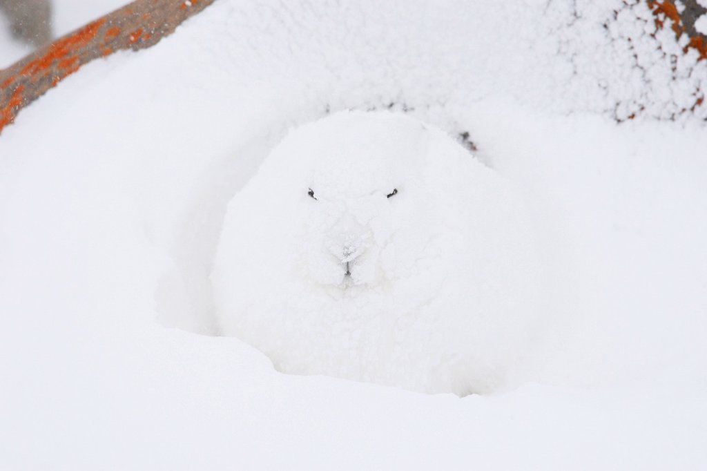 Stock Photo: 1990-61255 Arctic hare Lepus arcticus, or polar rabbit in a winter blizzard in the Canadian arctic