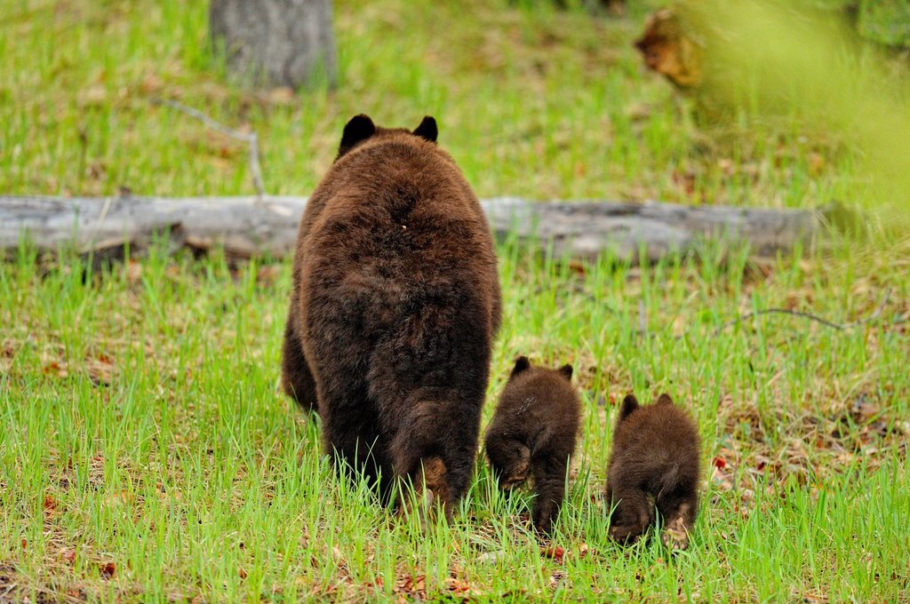 American Black bear Ursus americanus Mother and cubs : Stock Photo