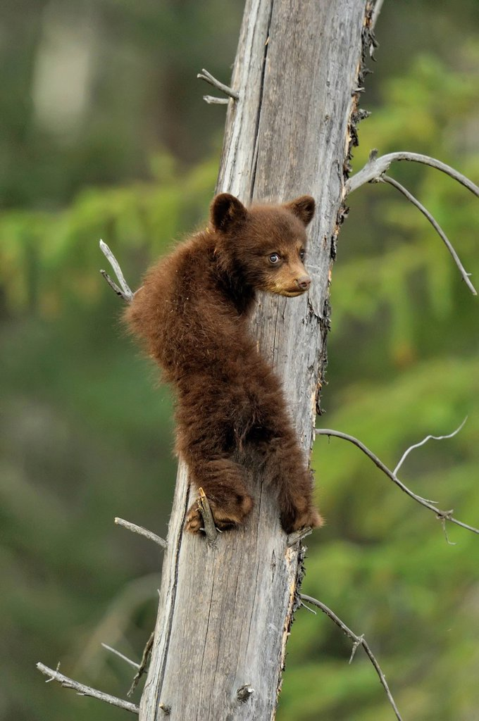 Stock Photo: 1990-61315 American Black bear Ursus americanus Young cub in the safety of a dead snag