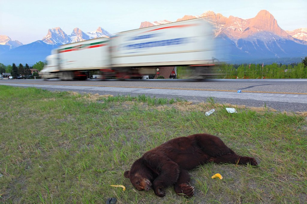 Dead black bear Ursus americanus on the side of the Trans Canada Highway, Canmore, Alberta, Canada : Stock Photo
