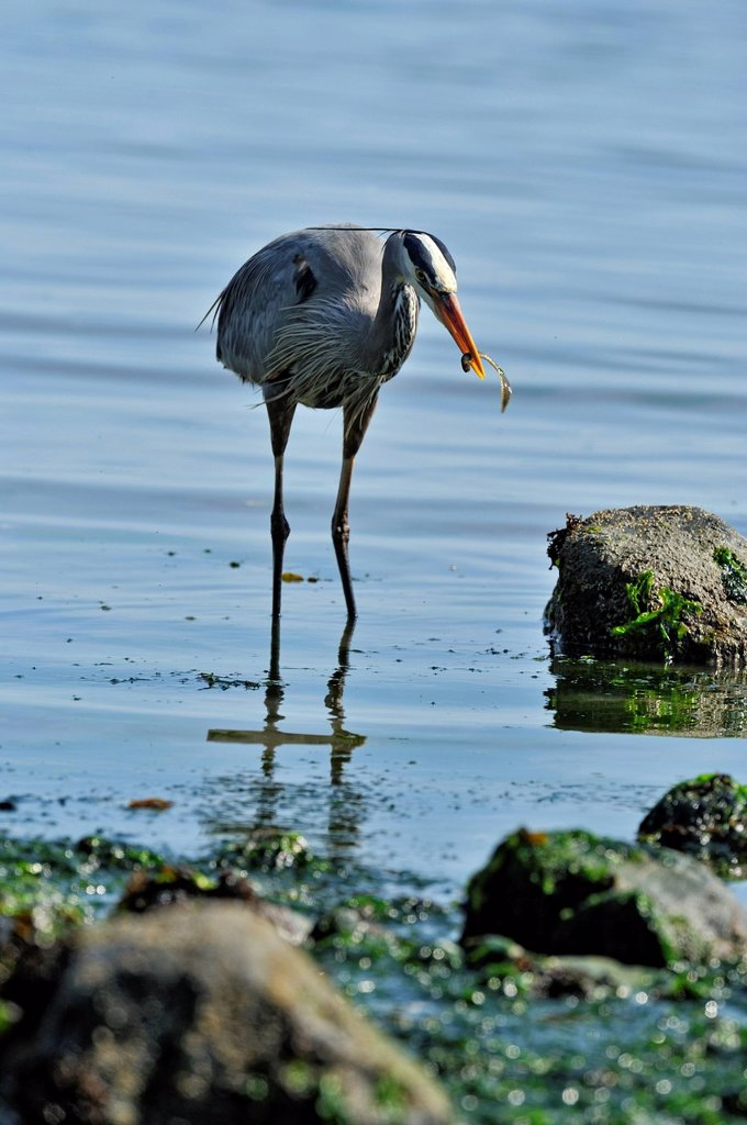 Stock Photo: 1990-61352 Great blue heron Ardea herodias Feeding in bay at low tide