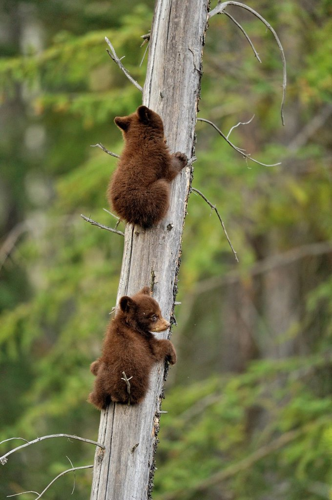 Stock Photo: 1990-61566 American Black bear Ursus americanus Two young cubs playing in the safety of a dead snag