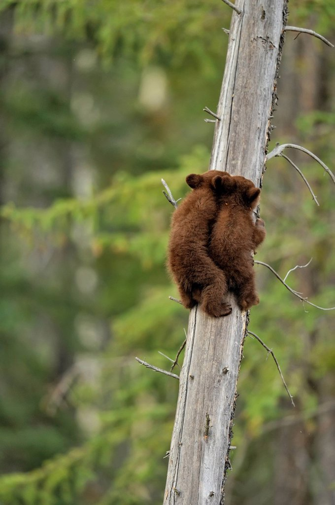 American Black bear Ursus americanus Two young cubs playing in the safety of a dead snag : Stock Photo