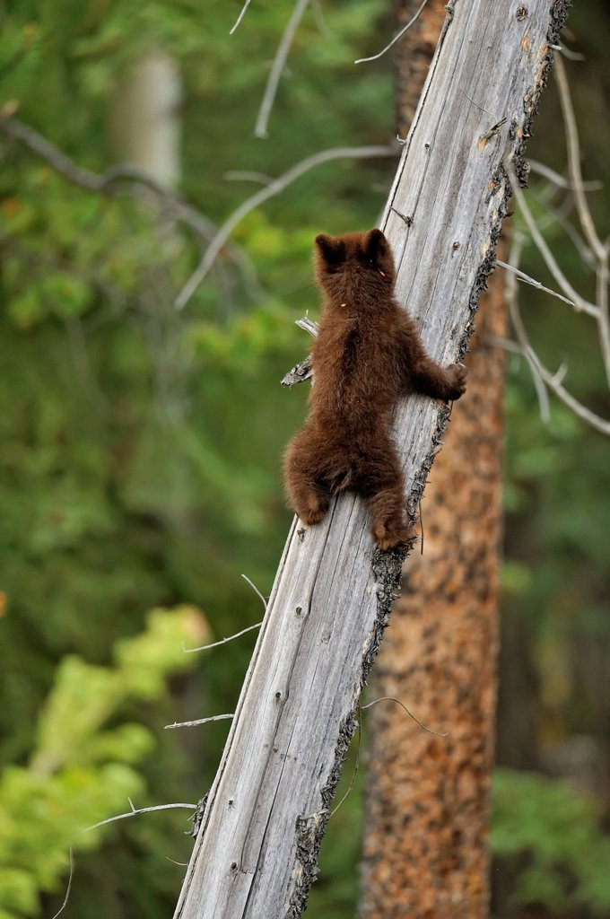 American Black bear Ursus americanus Young cub in the safety of a dead snag : Stock Photo