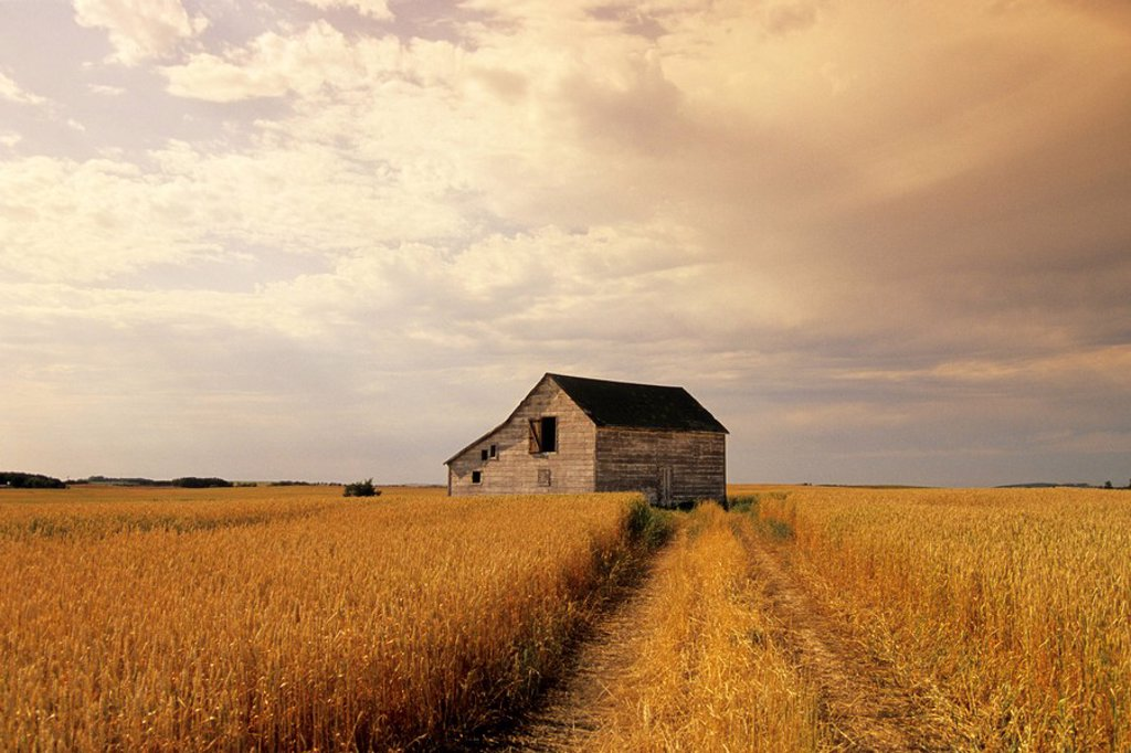 Stock Photo: 1990-6198 Old barn in maturing spring wheat field, Tiger Hills, Manitoba, Canada