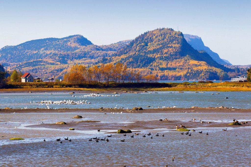 Canada Geese and Snow Geese, Bic National Park, Quebec, Canada : Stock Photo