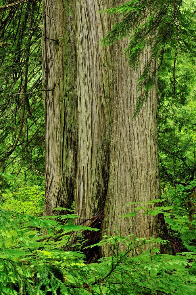 Stock Photo: 1990-63100 Western red cedars and devil´s club along the Giant Cedars trail, Mount Revelstoke National Park, British Columbia, Canada