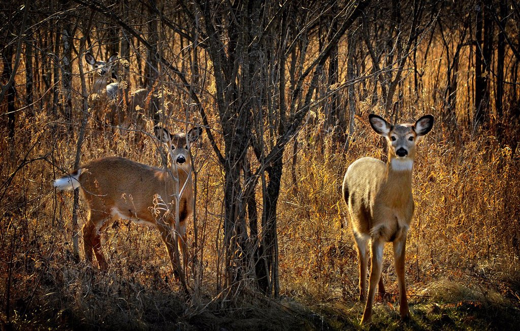 White_tailed deer, Odocoileus virginianus, in forest Ottawa, Ontario, Canada : Stock Photo