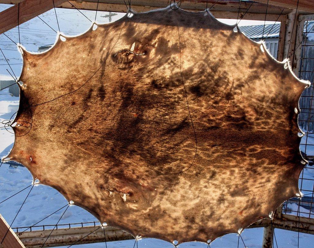 Stock Photo: 1990-63549 Seal skin drying Pangnirtung, Baffin Island, Nunavut, Canada