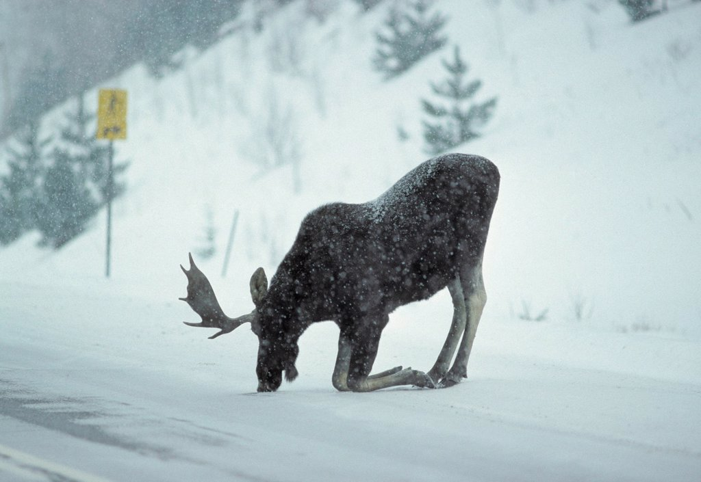 Stock Photo: 1990-63750 Moose Alces alces Male. moose are often drawn to roadways, to lick salt that is used to melt snow and ice, Algonquin Provincial Park, Ontario, Canada