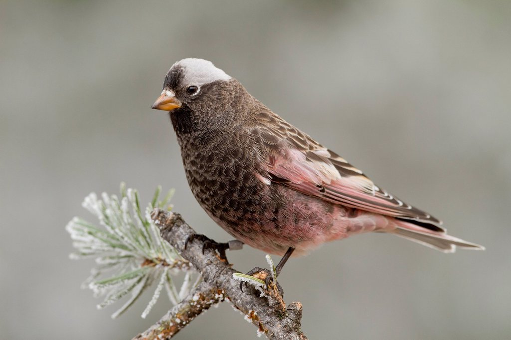 Stock Photo: 1990-63871 Black Rosy Finch, Leucosticte atrata, Sandia Crest, Albuquerque, New Mexico, USA