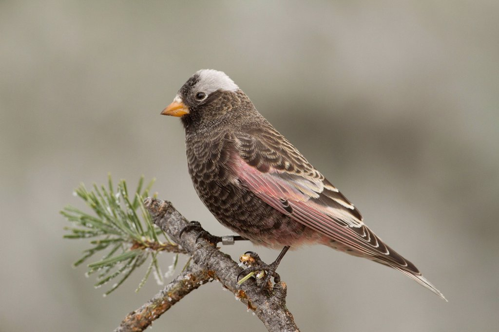 Stock Photo: 1990-63877 Black Rosy Finch, Leucosticte atrata, Sandia Crest, Albuquerque, New Mexico, USA