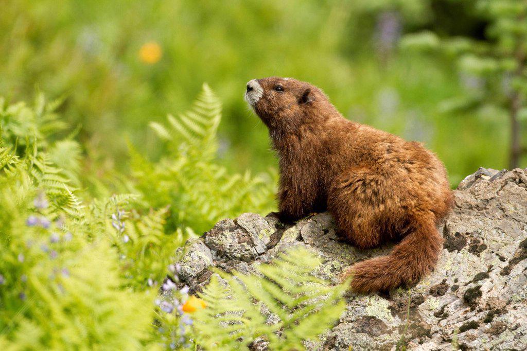 Stock Photo: 1990-63881 Vancouver Island Marmot, Marmota Vancouverensis, Vancouver Island, BC, Canada
