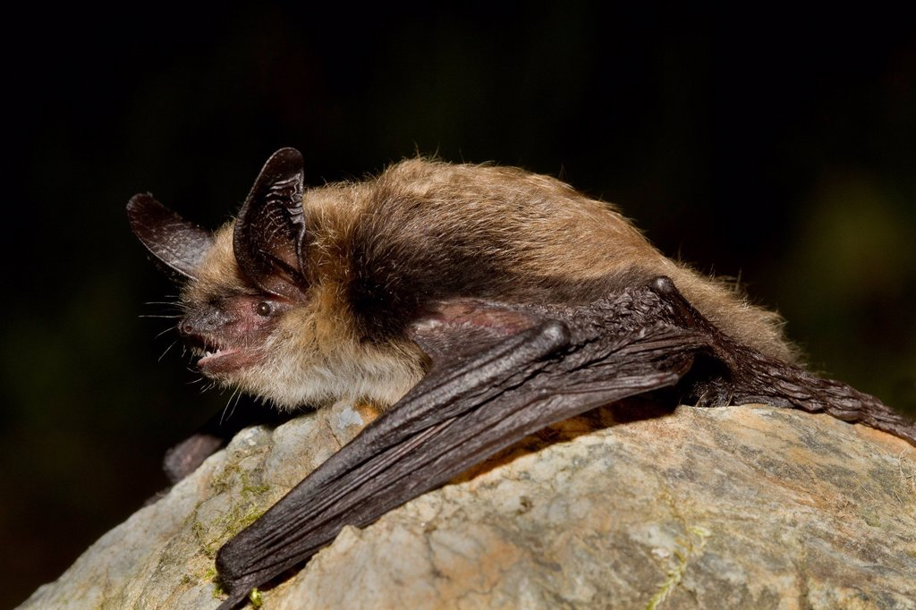 Stock Photo: 1990-63907 yotis evotis, Western Long_eared bat, Lillooet, BC, Canada