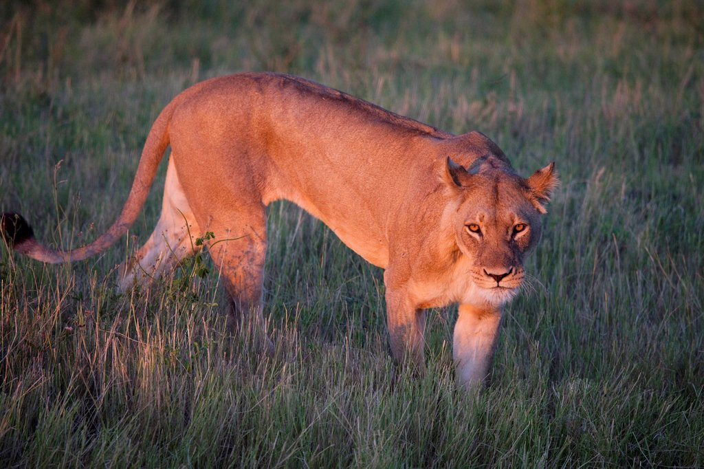 Stock Photo: 1990-64096 Lion, Chobe National Park, Botswana, Africa