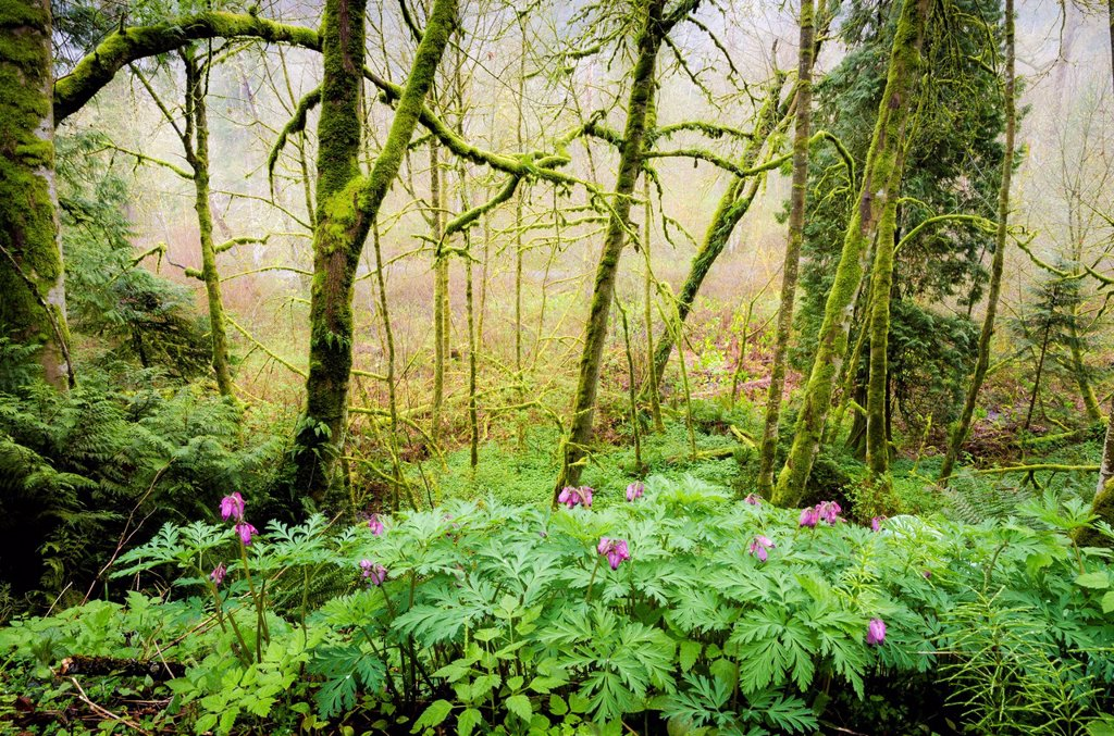Stock Photo: 1990-64461 Bleeding heart flowers Dicentra formosa and forest, Goldstream Provincial Park, Vancouver Island, British Columbia, Canada