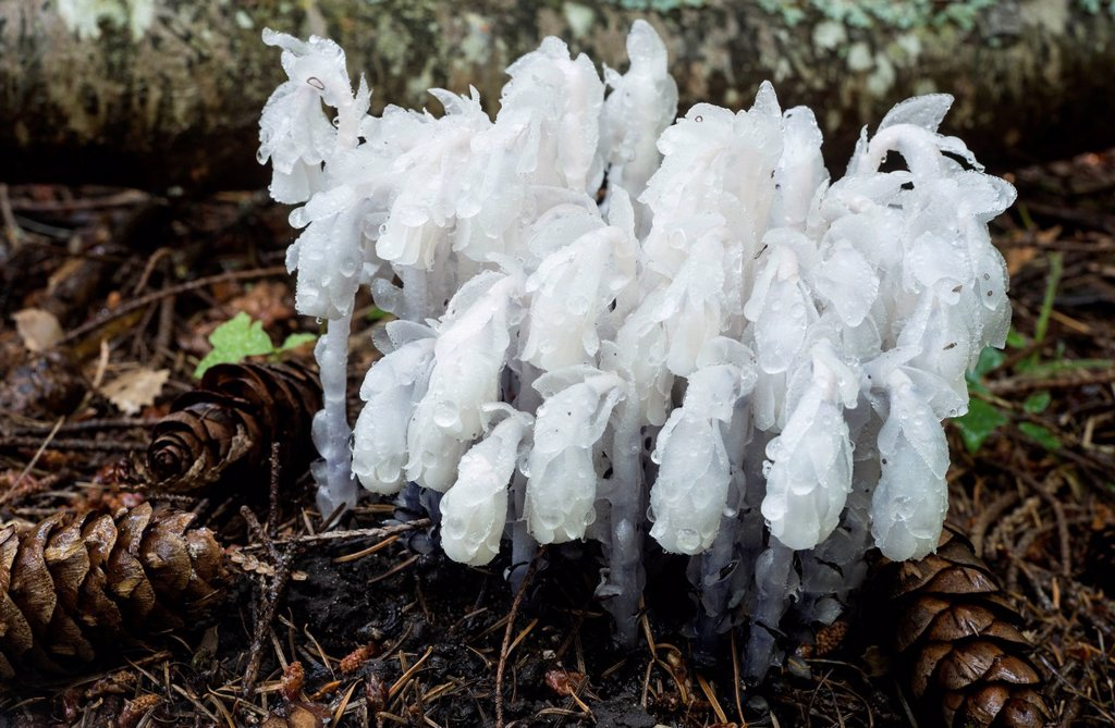 Stock Photo: 1990-64507 Ghost Plant, Indian Pipe, or Corpse Plant, Monotropa uniflora, a herbaceous perennial plant, Vancouver Island, British Columbia, Canada
