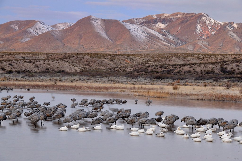 Stock Photo: 1990-64776 Sandhill crane Grus canadensis Flock roosting in a pond, Bosque del Apache NWR, New Mexico, USA