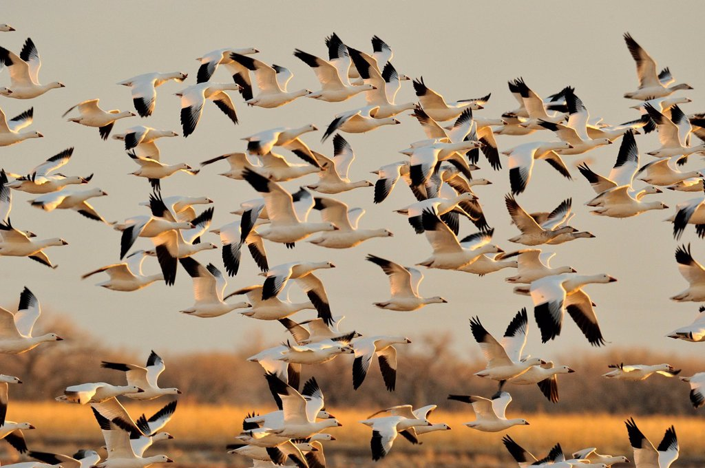 Snow Goose Chen caerulescens Flocks in flight over grain fields, Ladd S Gordon Management area, Bernardo, New Mexico, USA : Stock Photo
