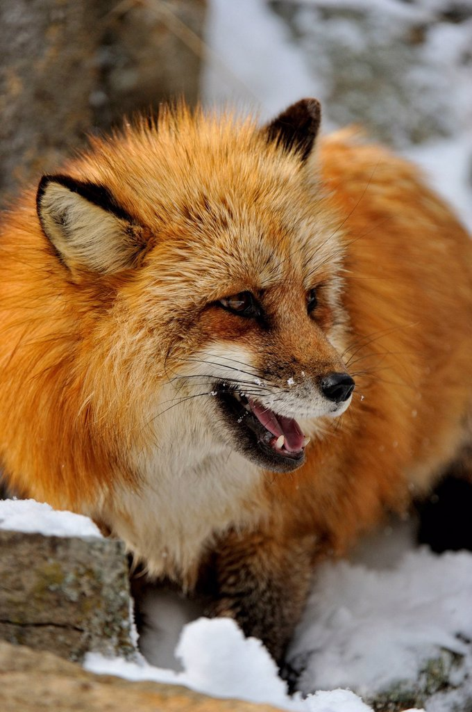 Stock Photo: 1990-64924 Red fox Vulpes vulpes, Bozeman, Montana, USA