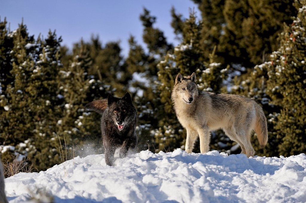 Stock Photo: 1990-64934 Grey Wolf Timber Wolf Canis lupus Winter habitat, Bozeman, Montana, USA