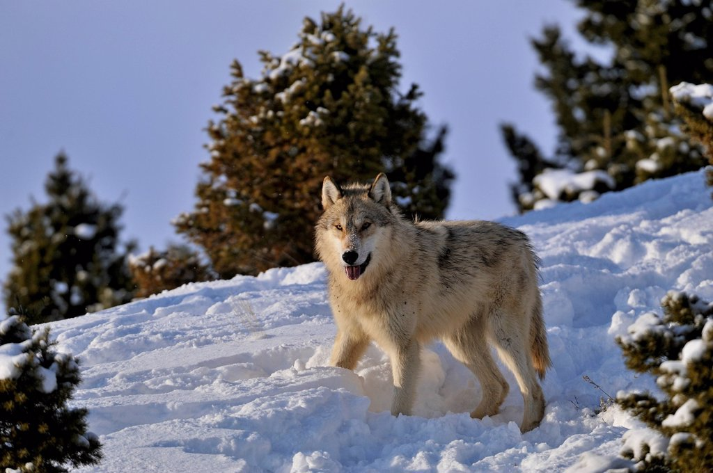 Grey Wolf Timber Wolf Canis lupus Winter habitat, Bozeman, Montana, USA : Stock Photo