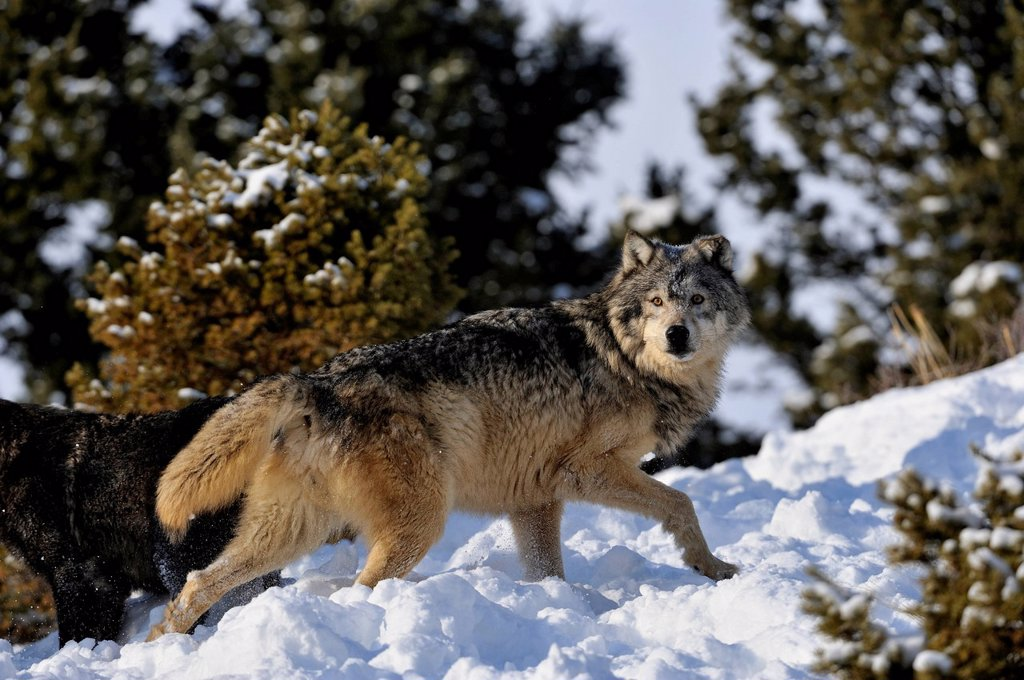 Stock Photo: 1990-64937 Grey Wolf Timber Wolf Canis lupus Winter habitat, Bozeman, Montana, USA
