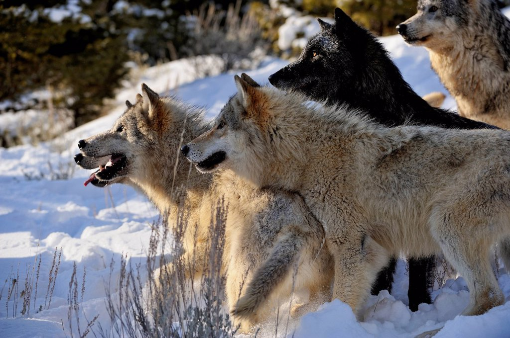Grey Wolf Timber Wolf Canis lupus Pack interaction behaviour, Bozeman, Montana, USA : Stock Photo