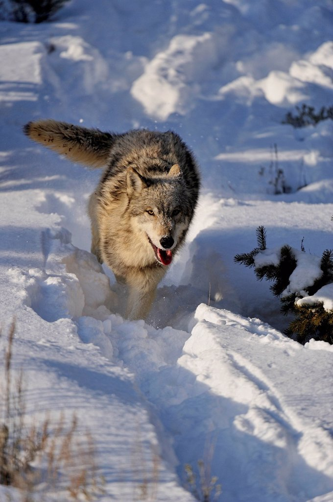Grey Wolf Timber Wolf Canis lupus Running down snowy hillside, Bozeman, Montana, USA : Stock Photo