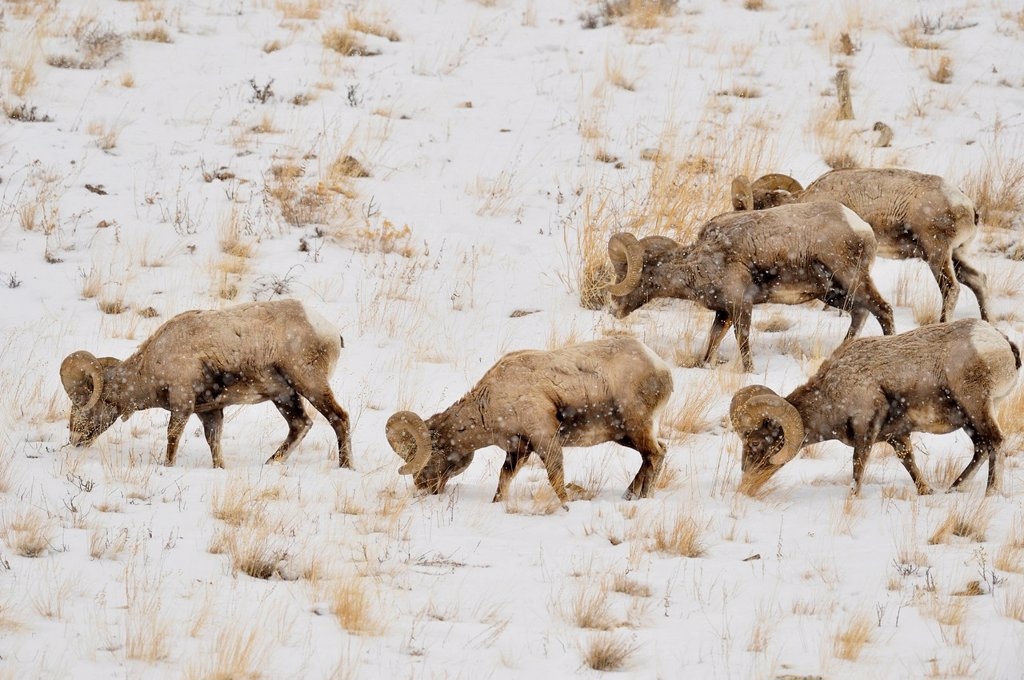 Bighorn sheep Ovis Canadensis Rams in winter forage habitat, Yellowstone NP, Wyoming, USA : Stock Photo