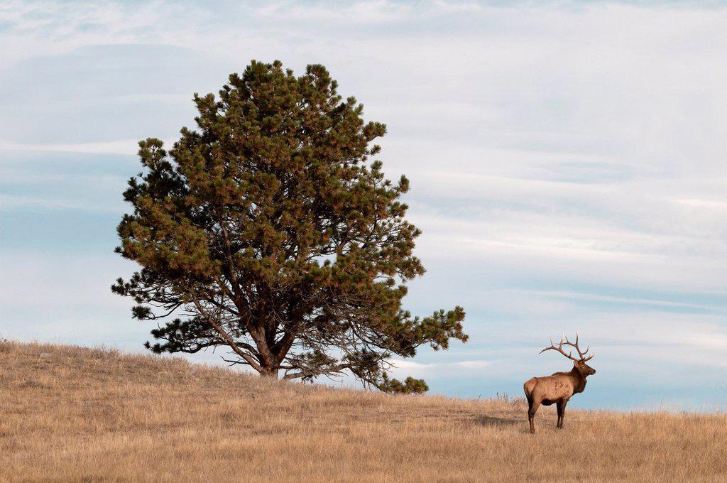 Bull Elk standing next to large Ponderosa Pine tree, Cervus canadensis, Wind Cave National Park, South Dakota, North America. : Stock Photo