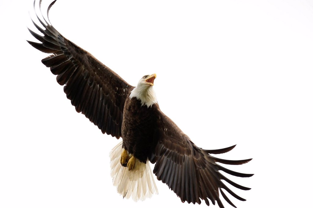 Bald Eagle, Haliaeetus leucocephalus, protective behaviour, Northern Ontario, Canada. : Stock Photo