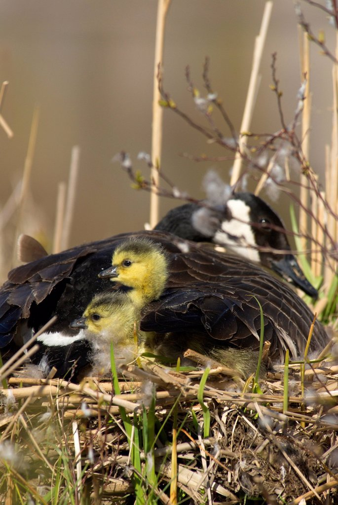 Stock Photo: 1990-65462 Canada Goose on her nest with 2 recently hatched chicks near Muskoka, Ontario