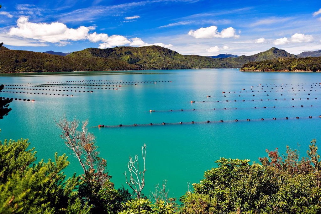 Stock Photo: 1990-65960 Mussel Farm in Kenepuru Sound near Waitaria in Waitaria Bay, Marlborough, South Island, New Zealand