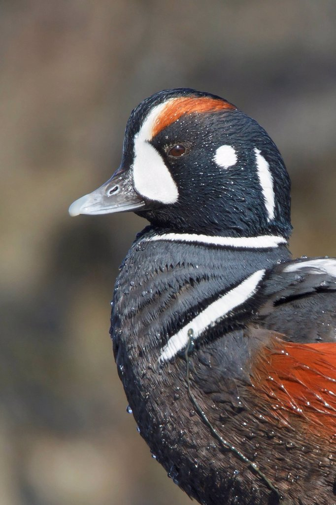 Harlequin Duck, Histrionicus histrionicus : Stock Photo