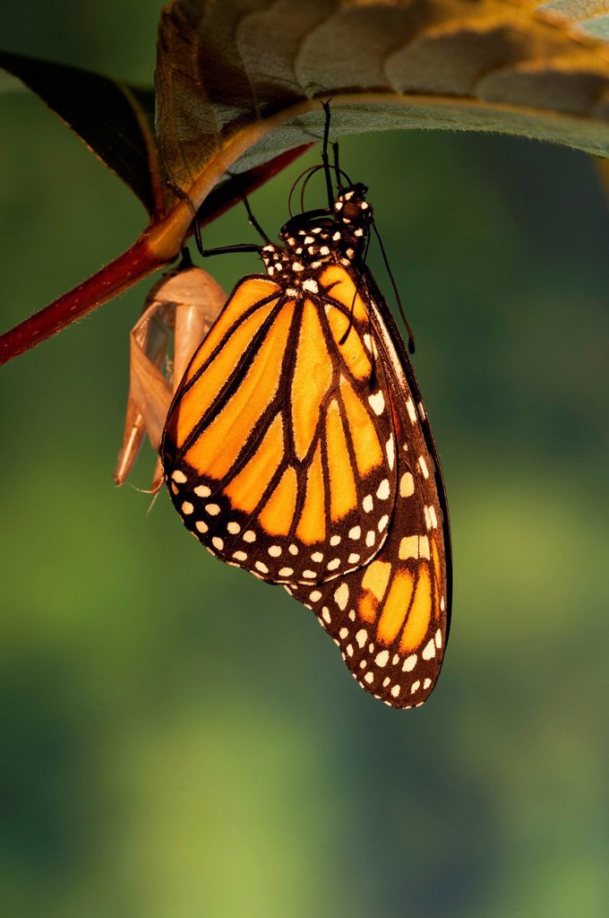 Stock Photo: 1990-68636 Monarch butterfly Danaus plexippus dries wings shortly after emergence from chrysalis. summer. North America.