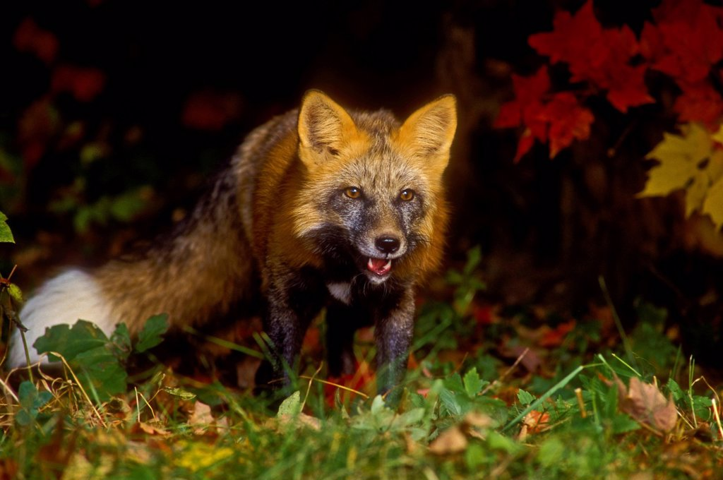Stock Photo: 1990-68648 Red Fox Vulpes vulpes in autumn maples. Cross colour phase. Minnesota..