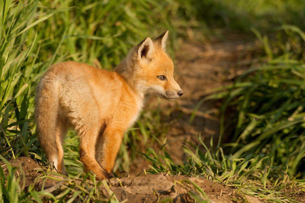 Stock Photo: 1990-69052 Red fox, Vulpes vulpes, Saskatchewan, Canada