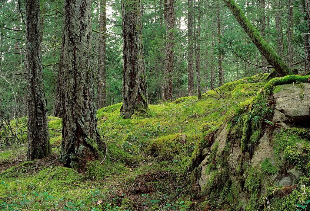 Douglas_fir forest, Old_growth forest, southern BC, Vancouver Island, Canada : Stock Photo