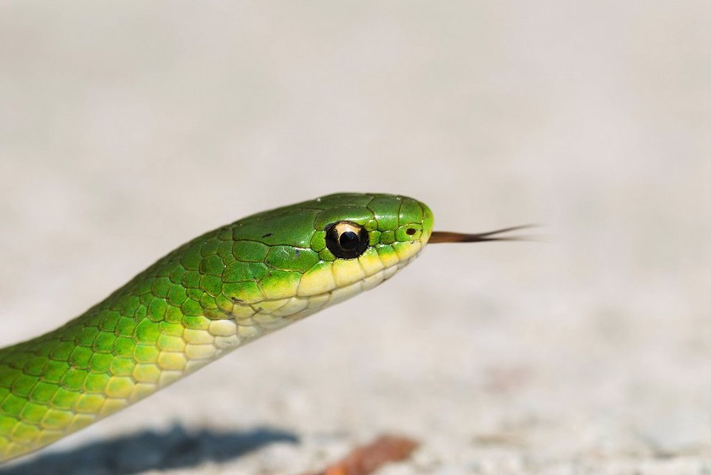 Smooth Green Snake Opheodrys vernalis at Dorcas Bay on Lake Huron in Bruce Peninsula National Park, Ontario, Canada : Stock Photo