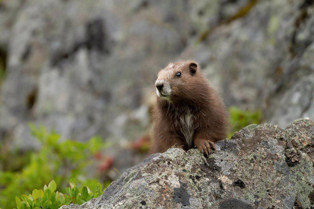 Stock Photo: 1990-69567 Vancouver Island Marmot, Marmota Vancouverensis, Vancouver Island, BC, Canada