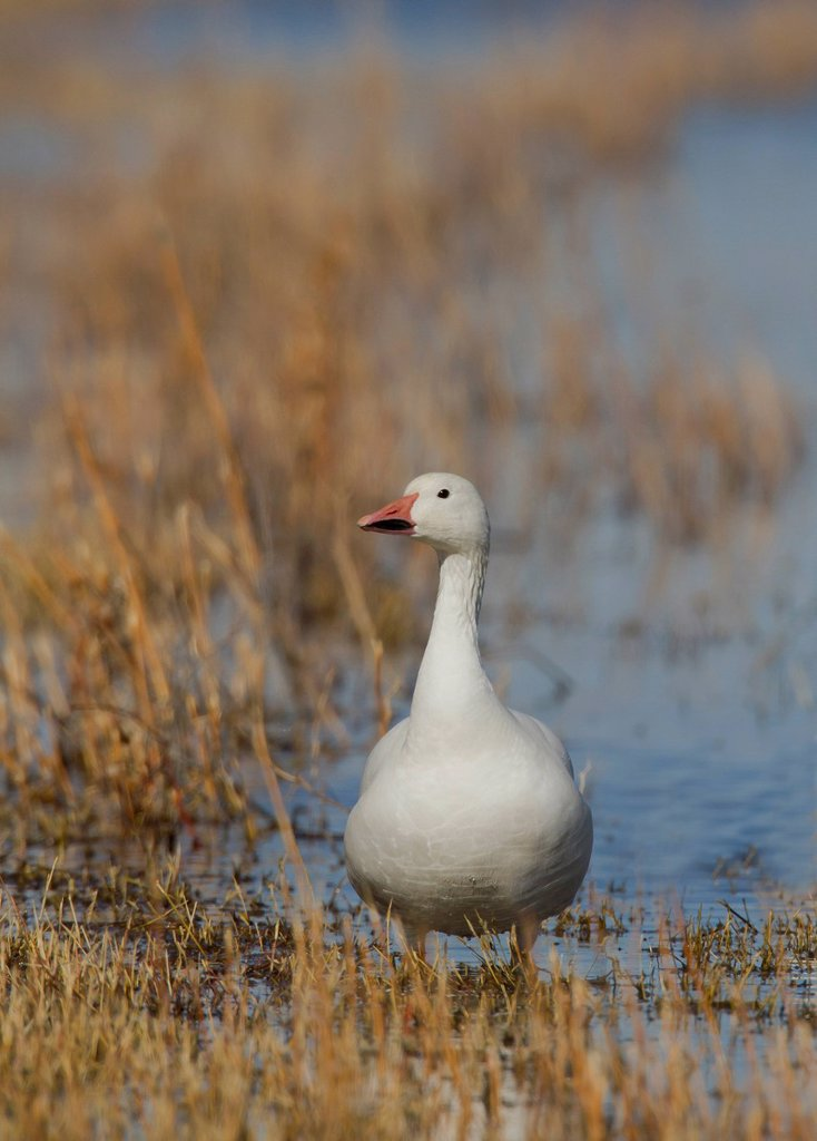 Stock Photo: 1990-69815 Snow Goose, Chen caerulescens, Bosque Del Apache, New Mexico, USA