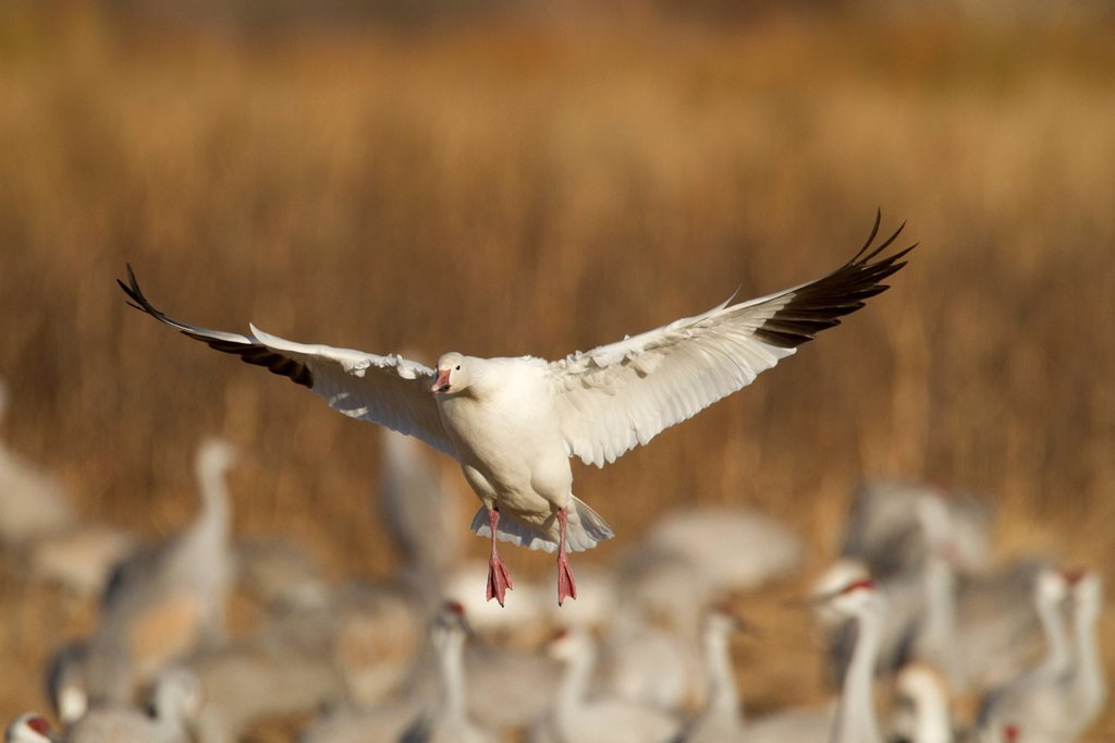 Stock Photo: 1990-69821 Snow Goose, Chen caerulescens, Bosque Del Apache, New Mexico, USA