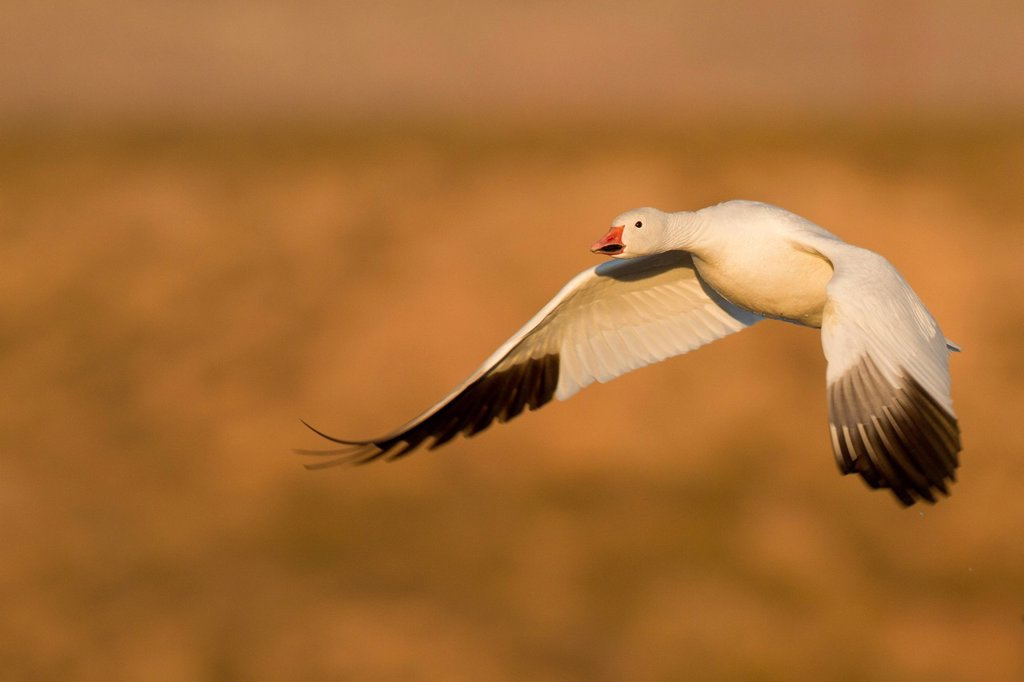 Stock Photo: 1990-69836 Snow Goose, Chen caerulescens, Bosque Del Apache, New Mexico, USA