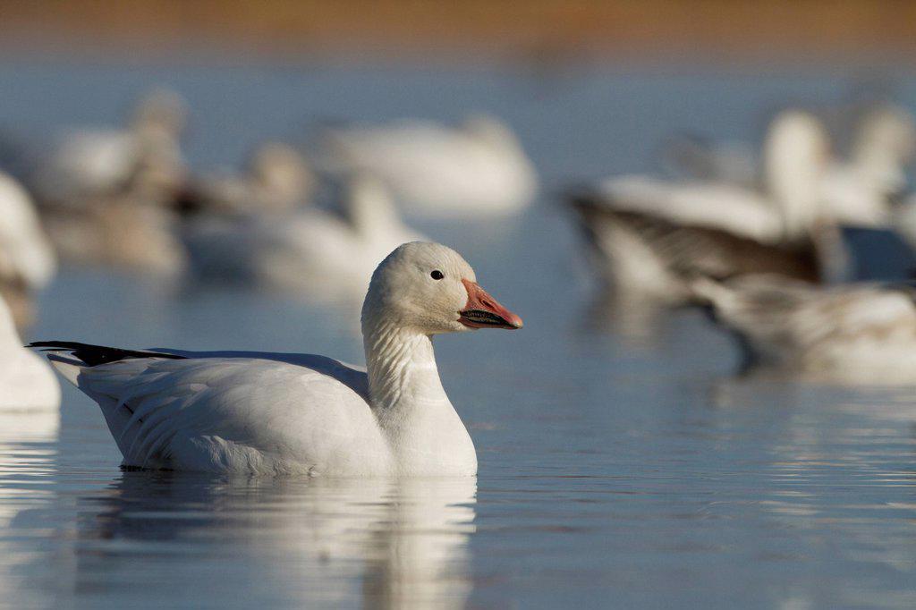 Stock Photo: 1990-69843 Snow Goose, Chen caerulescens, Bosque Del Apache, New Mexico, USA