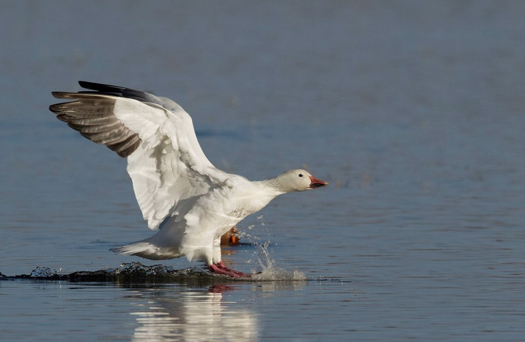 Snow Goose, Chen caerulescens, Bosque Del Apache, New Mexico, USA : Stock Photo